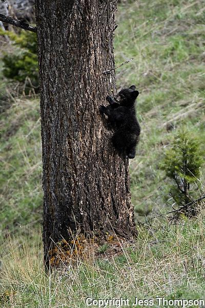 Black Bear Cub, 2015 year
