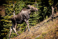 Moose (Alces alces) calf keeps close to his mother as she heads for cover.  Alberta, Canada.