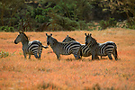 A small group of Burchell's zebras stand together near the Loldaika Mountains in Kenya.