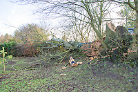 Saturday 10 January 2015<br /> Pictured: Fallen tree<br /> RE: Severe gales across Wales uproot a 100 year old beech tree from a garden falling across Penllwyn Lane in Graig-Y-Rhacca, Caerphilly, road closed.