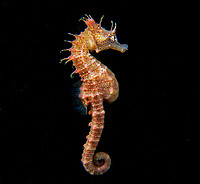 Short Head seahorse, Hippocampus breviceps, Swimming in midwater, Wool Bay, South Australia, Australia, Southern Ocean