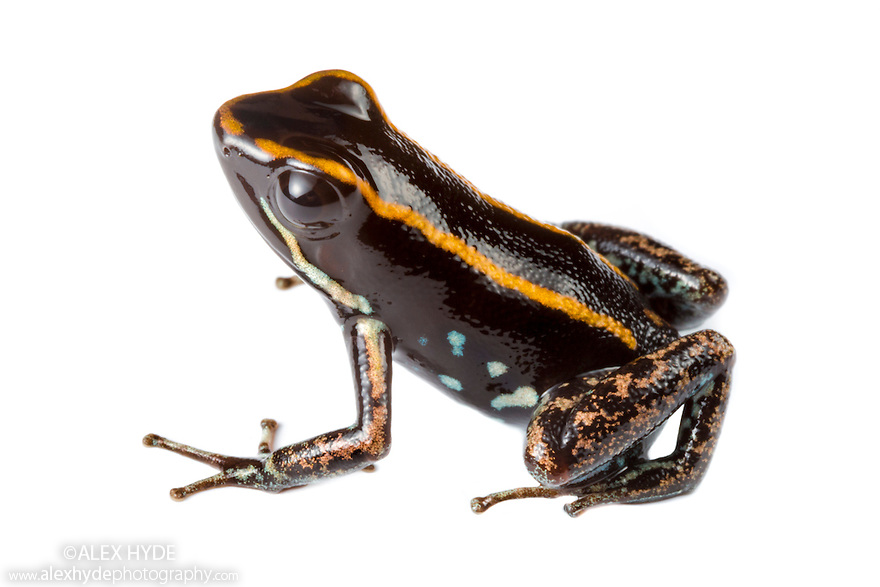Lovely Poison Frog {Phyllobates lugubris} photographed in mobile field studio on a white background. Central Caribbean foothills, Costa Rica. May.