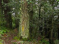 On a path through the Purisima Creek Redwood Preserve, a trunk is festooned with green moss and  yellow lichen.