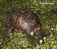 1003-0817  Male Eastern Box Turtle Diving Under Water with Watercress - Terrapene carolina © David Kuhn/Dwight Kuhn Photography