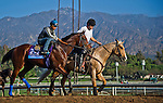 October 26, 2014:  American Pharoah, trained by Bob Baffert, exercises in preparation for the Sentient Jet Breeders' Cup Juvenile at Santa Anita Race Course in Arcadia, California on October 26, 2014. John Voorhees/ESW/CSM