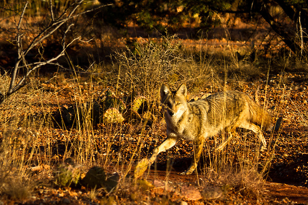 Coyote's blend into their environment for a reason. This Coyote looks into the camera only for an instant and then is gone.