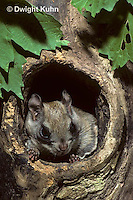 MA29-021z   Flying Squirrel - in a nest cavity - Glaucomys sabrinus