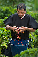 picking coffee grains in Aponte, Colombia