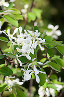 Gewöhnliche Felsenbirne, Gemeine Felsenbirne, Echte Felsenbirne, Mitteleuropäische Felsenbirne, Felsenmispel, Amelanchier ovalis, syn. Amelanchier vulgaris, Snowy Mespilus, shadbush, shadwood, shadblow, serviceberry, sarvisberry, wild pear, juneberry, saskatoon, sugarplum, wild-plum,, chuckley pear