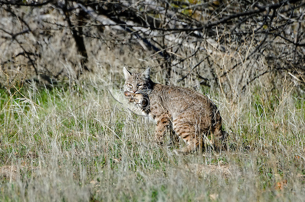 Wild Bobcat (Lynx rufus) with (I believe) a pocket gopher it has caught.  Central California.  December.  (Completely wild, non-captive cat.)
