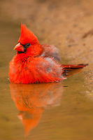 North America, USA, Texas, Hidalgo County, male cardinal (Cardinalis cardinalis) bathing