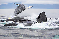 USA, Alaska, Chatham Strait, Humpback whales (Megaptera novaeangliae) bubble-feeding with juvenile breaching