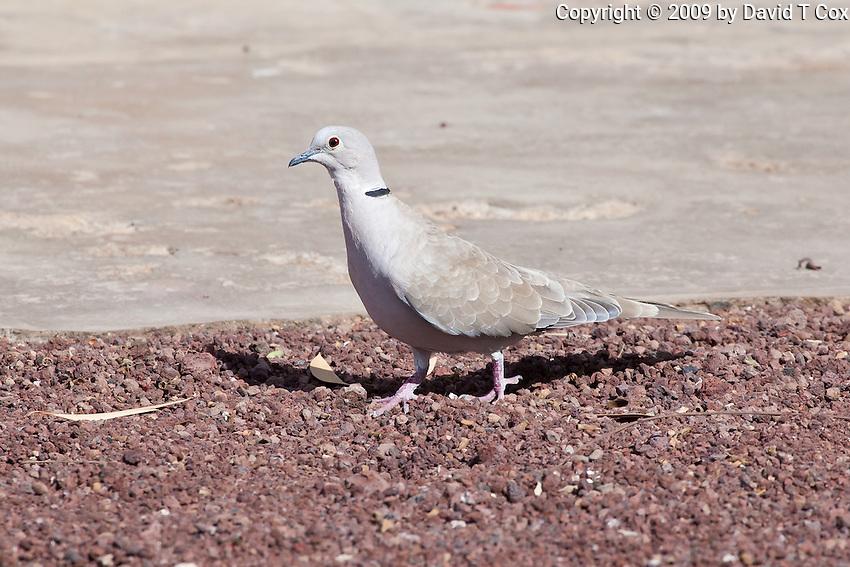 Eurasian-Collared Dove, Sn Quintin, Baja California, Mexico