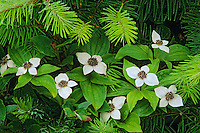 Bunchberry or Ground Dogwood (Cornus canadensis).  Pacific Northwest.