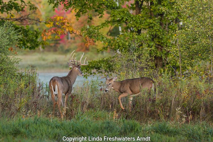 White-tailed bucks in autumn