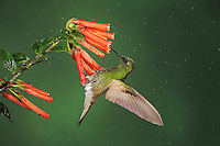 Buff-tailed Coronet (Boissonneaua flavescens), adult clings to flower while feeding ,Mindo, Ecuador, Andes, South America