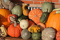 Verschiedene reife Kürbisse, Kürbis, Kürbiss, Cucurbita, Marrow, Pumpkin, Courge