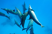 School of spinner dolphins (scientific name: Stenella longirostris), mamal, off Hamata coast, Egypt, Red Sea.