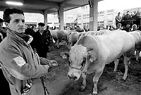 """- feast of the """"fat ox"""" in Carr? (Cuneo), fair of """"white Piedmontese"""" race  livestock, one of most ancient in Italy<br /> <br /> - sagra del """"bue grasso"""" a Carrù (Cuneo), fiera del bestiame di razza """"bianca piemontese"""", una delle più antiche in Italia"""