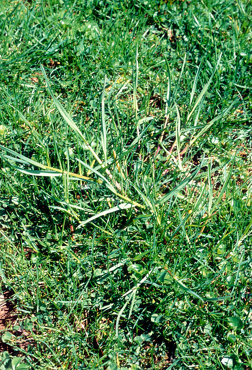 Lawn weed Poa annua in grass, annual meadow grass, known in America more commonly as annual bluegrass or simply poa.