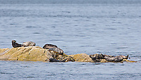 Harbor seals are a common sight in BC, but can be difficult to photograph at close range.