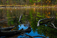 Canada Geese on Delgian Pond on a calm day at Camp Saratoga in Sraratoga County in New York State