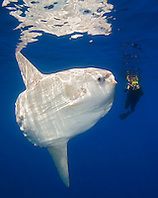 ocean sunfish, Mola mola, and snorkeler with underwater video camera, off San Diego, California, East Paficic Ocean