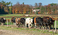Dairy cows coming down a cow track for milking, Oxford, Oxfordshire.