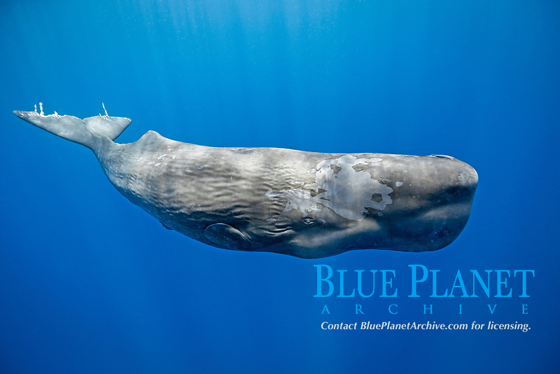 sperm whale, or cachalot, Physeter macrocephalus, young whale, with damaged fluke, possibly attacked by killer whales, Dominica, Caribbean Sea, Atlantic Ocean, permit # RP 13/365 W-03