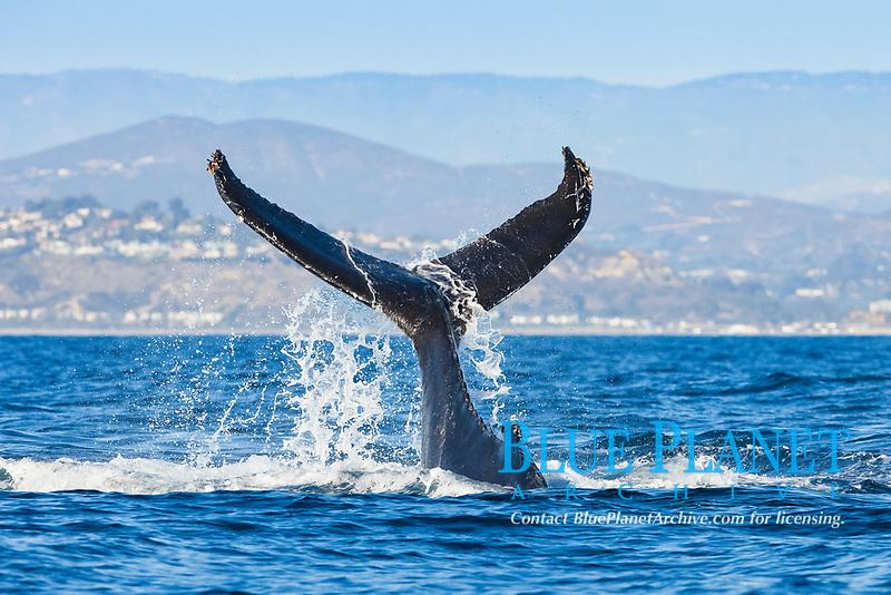 humpback whale, Megaptera novaeangliae, fluke