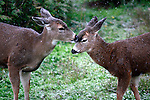 A Blacktailed deer (a species of Mule Deer) licks the snow off the face of her fawn.