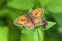 Gatekeeper butterfly (Pyronia tithonus) on flowering oregano/marjoram, late July.