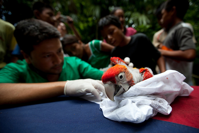 A Guatemalan vet studies a Scarlet Macaw chick with a group of settlers living inside the Mayan Biosphere reserve. Environmental eduction is key to the survival of the species and the entire Mayan Biosphere.