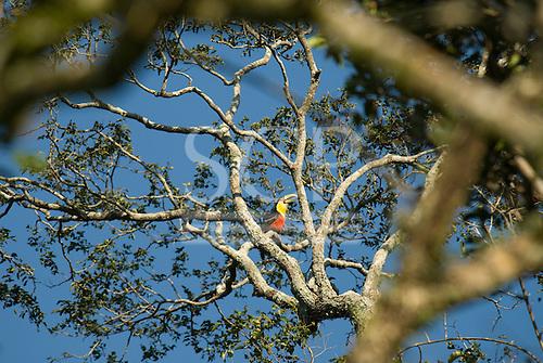 Fazenda Bauplatz, Brazil. Red-breasted toucan (tucano de bico verde) (Ramphastos dicolorus) perched on a branch of a tree.