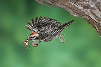 Ladder-backed Woodpecker, Picoides scalaris, male in flight leaving nesting cavity with fecal sac, Willacy County, Rio Grande Valley, Texas, USA, June 2006