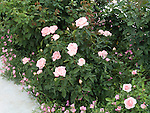 Secret Rose bush, Rosa hybrid tea