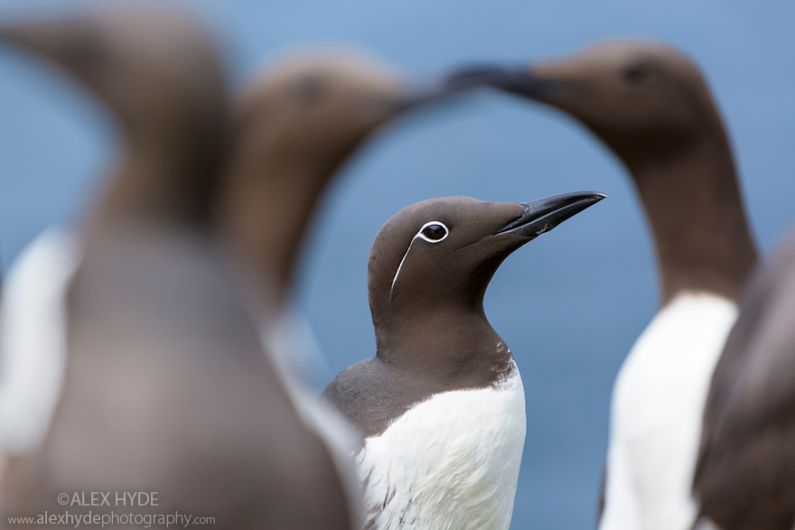 Guillemot (Uria aalge), 'bridled' individual with distinctive white feathers around eye. This is genetic polymorphism rather than a distinct subspecies. Isle of Lunga, Treshnish Isles, Isle of Mull, Scotlan. June.