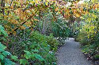 Gravel (crushed rock) path along mixed border under Parrotia persica (Persian Ironwood) in fall color, Gary Ratway garden