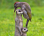 Woodpecker sticks its toungue out to catch ants on ornamental meerkat by Terry Hancock