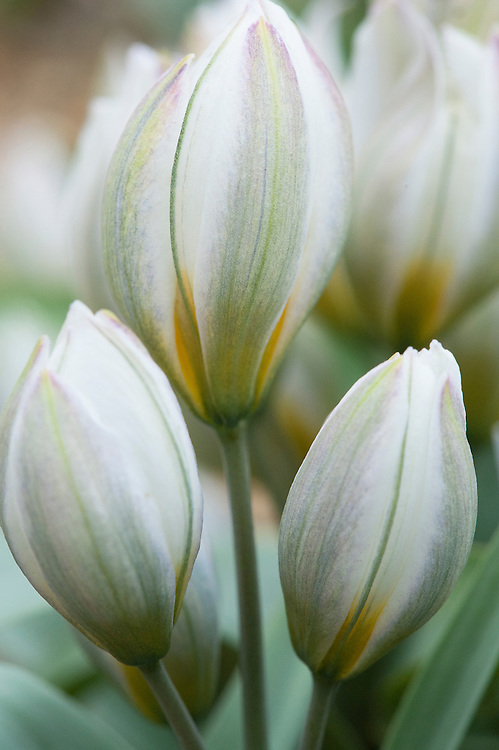 Tulip (Tulipa biflora syn. Tulipa polychroma), early March.