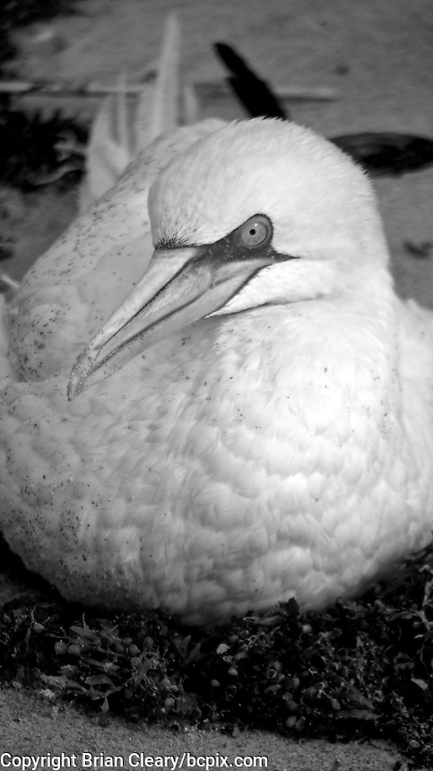 A Gannet (Morus Bassanus) at rest on the beach in Ormond Beach, FL, November 8, 2011.    (Photo by Brian Cleary/www.bcpix.com)