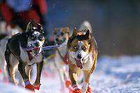 M Hall's Lead Dogs on Trail 99 Iditarod Anchorage AK