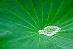 Mauritius, Pamplemousses: Sir Seewoosagur Ramgoolam Botanic Gardens -  rain drop on waxy Lotus leaf | Mauritius, Pamplemousses: Sir Seewoosagur Ramgoolam Botanischer Garten - Blatt einer Lotosblume mit aufgefangenen Regentropfen