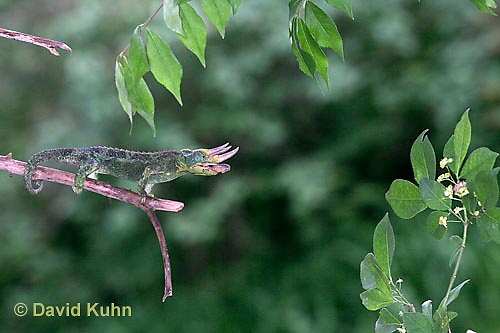 "1104-07yy  Jackson chameleon ""Shooting Out Tongue to Catch Insect"" - Chamaeleo jacksonii - © David Kuhn/Dwight Kuhn  Photography [See 1104-07xx, 1104-07yy, 1104-07zz for Complete Tongue Flicking Sequence]"