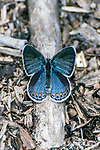 karner blue butterfly female standing on twig, concord, new hampshire, vertical