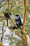 High up in a yellow-barked acacia tree in Kenya's Lake Nakuru National Park, an Abyssinian black-and-white colobus monkey cradles its baby. These large monkeys seem to fly through the trees trailing large tails with bushy white tufts on the tips.