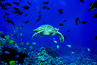 The endangered Green Sea Turtle ( Chelonia mydas ) is a common sight on Hawaii's coral reefs. Hawaiian name is ( Honu ).