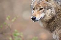 Gray wolf, Denali National Park, Interior, Alaska.
