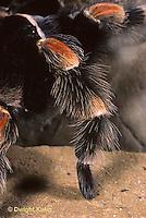 SI21-007c  Red Legged Tarantula close up of leg -  Brachypelma smithi