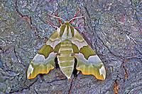 Lindenschwärmer, Mimas tiliae, Lime Hawk-moth, Schwärmer, Sphingidae, hawk moths, sphinx moths